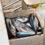 San-Pedro-Fishing-Belize---Tuna-Fishing