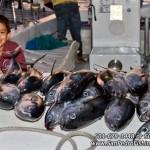 San-Pedro-Fishing-Belize---Tuna-Fishing-2